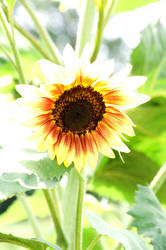 Hi Key Sunflower by poetking