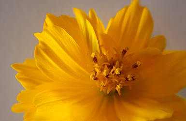 Yellow Flower Macro by poetking