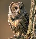 More Raptors Barred Owl by poetking