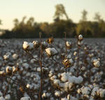 Talking Cotton to Cotton by poetking