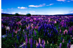 Field of tall Flowers by EyeDance