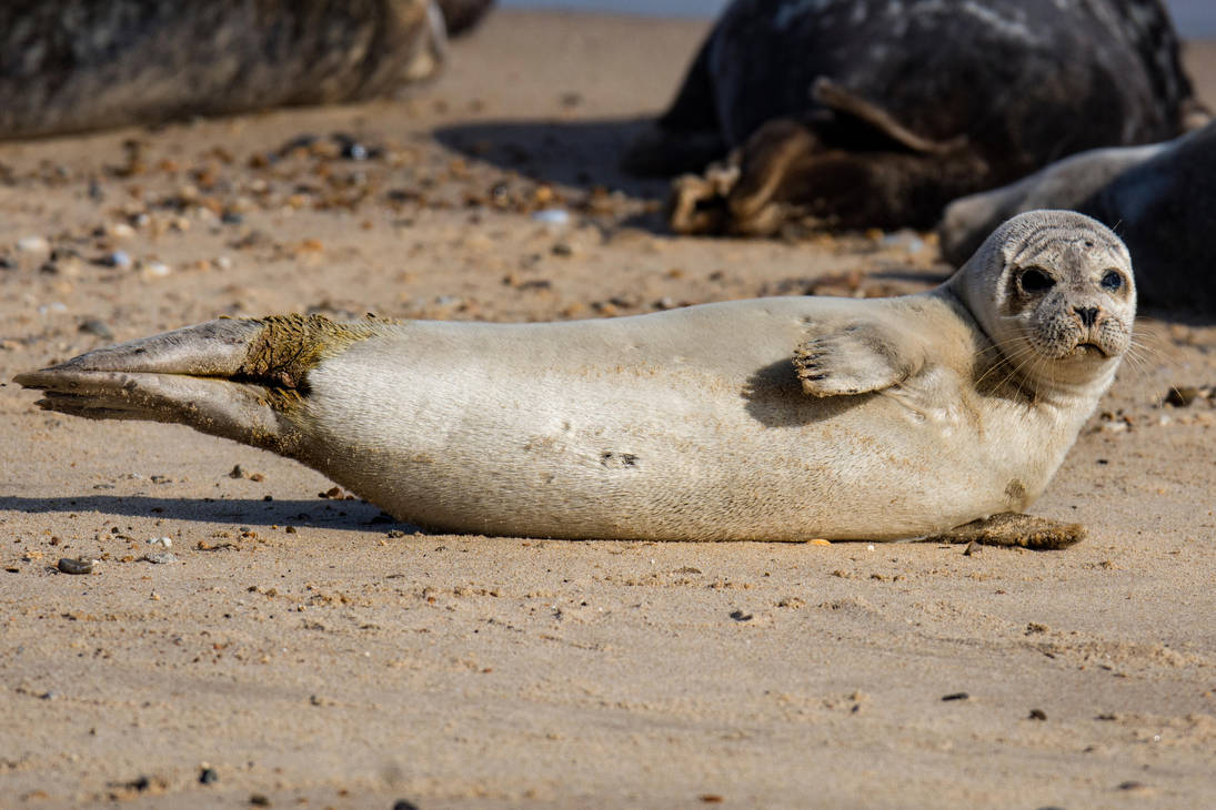 Grey Seal Pup by Daniel-Wales-Images