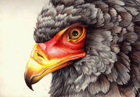 Bateleur by FeatheredDiva