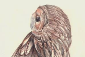 Young owl by FeatheredDiva