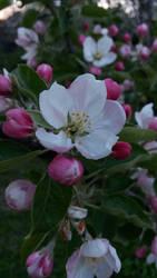 apple flowers 2 by JustKeepYourEyesOpen