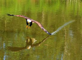 Water Skimming by BlackArrowPhotos
