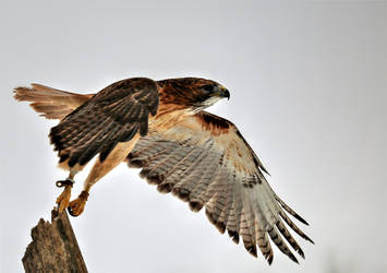 The Beauty and Majesty of a Red Tailed Hawk by BlackArrowPhotos