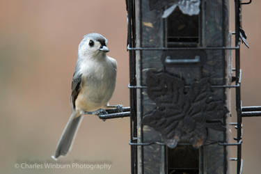 Tufted Titmouse by CharlesWb