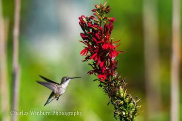 Hummingbird 2 by CharlesWb