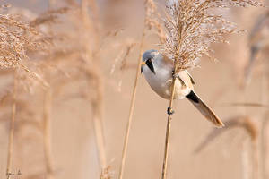 Bearded Reedling V by SzymonMic