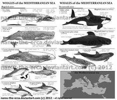 ID guide to mediterranean whales by namu-the-orca
