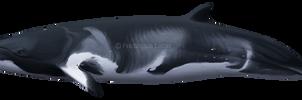 Dwarf minke whale (Balaenoptera a. ssp.) by namu-the-orca