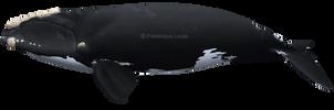 North Atlantic right whale (Eubalaena glacialis) by namu-the-orca