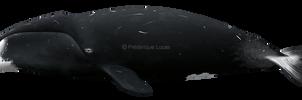 Bowhead whale (Balaena mysticetes) by namu-the-orca