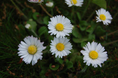 Some daisies in the grass by lescrapdepetitpois