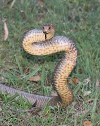 Eastern Brown Snake Freed From Garden Netting 2 by SnakeOutBrisbane