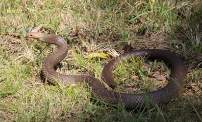 Eastern Brown Snake from Office Drain, Sept. 2017 by SnakeOutBrisbane