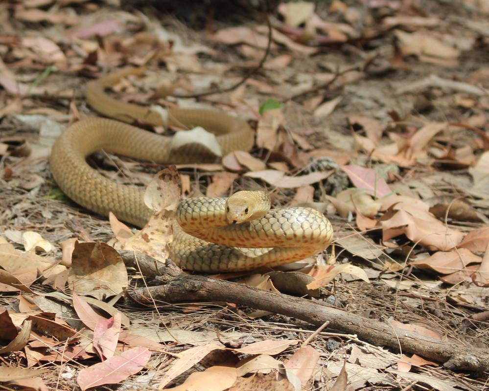 Golden coloured Eastern Brown Snake by SnakeOutBrisbane