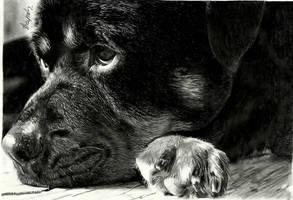 Rottweiler portrait by shaynaJreddick