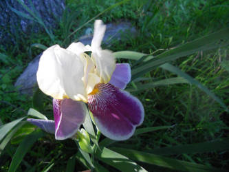 Spring's First Iris by Gryffgirl