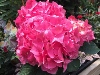 Pink Hydrangea by Gryffgirl
