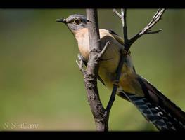 Fan-Tailed Cuckoo by 88-Law