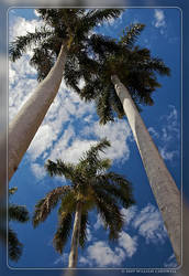 Ringling Palms by yojin