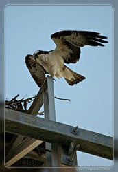 Gasparilla Osprey by yojin