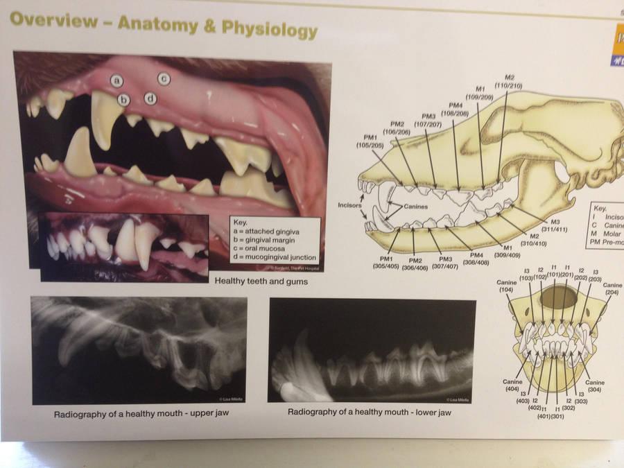 Canine Head And Teeth Anatomy By Halonewolf On Deviantart