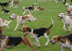 Hunting dogs in full flight by steelriverimages