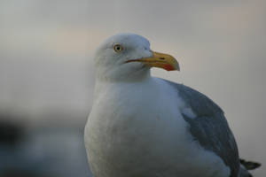 Bridport, Dorset, UK, Seagull1 by steelriverimages