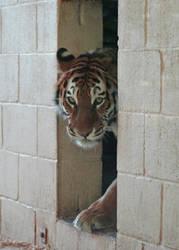 Tiger Tiger by steelriverimages