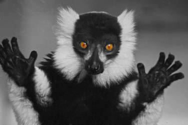 Ruffed Lemur 1 by steelriverimages