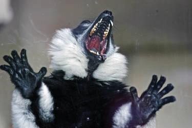 Ruffed Lemur 2 by steelriverimages