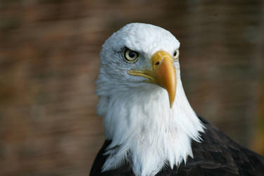 American Eagle by steelriverimages