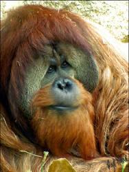 Portrait of an Orangutan by rickyrajat