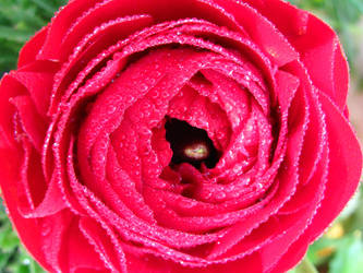dew on a beautiful flower by shushana