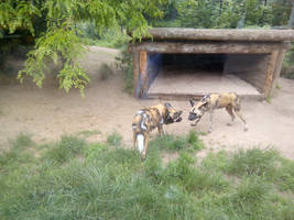 African Hunting Dogs in Zoo by Louisetheanimator