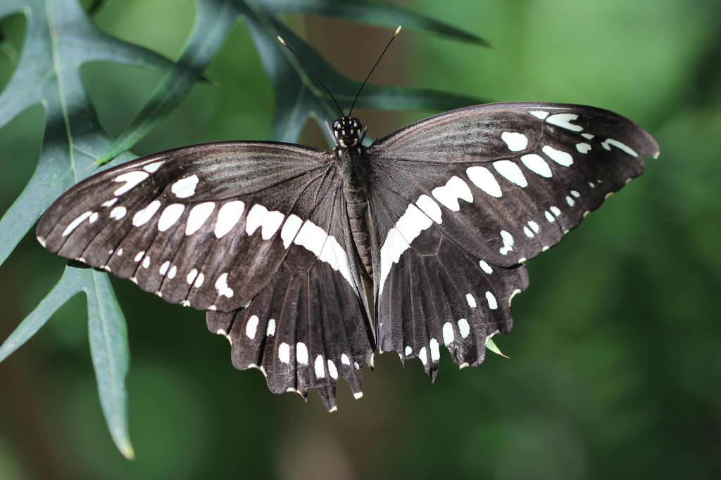 Butterfly Black by Shingau
