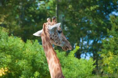 Girafe by Ivory-Skull