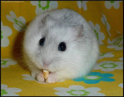 White Hamster by Alkatrashia