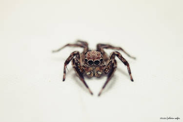 Jumping Spider by chiaki06