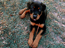 Rotten Rottie by blacklacefigure