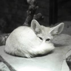 Fox by Vegasbride
