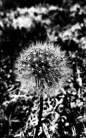 dandelion by Amarantheans