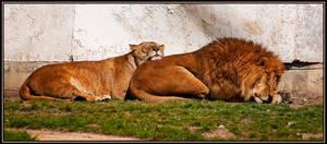 Sleeping lions by ValdesBG