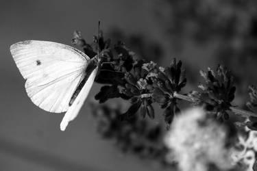 Butterfly by Freya7
