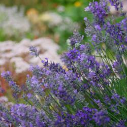 Lavender by Freya7