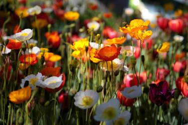 Poppies by Freya7