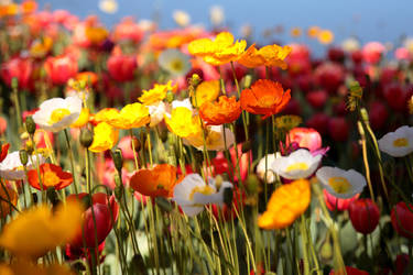Poppies II by Freya7